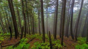 Pine Forest at Naranag