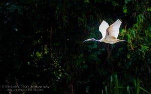 Black Headed Ibis - flying bird